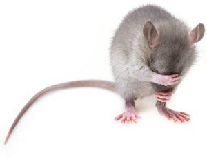 הדברת עכברים ראשית